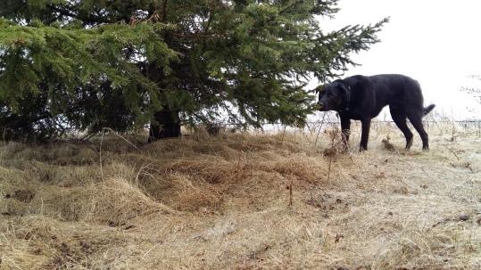Porter Sniffs Spruce Tree