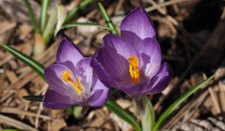 Two Crocuses And Insect