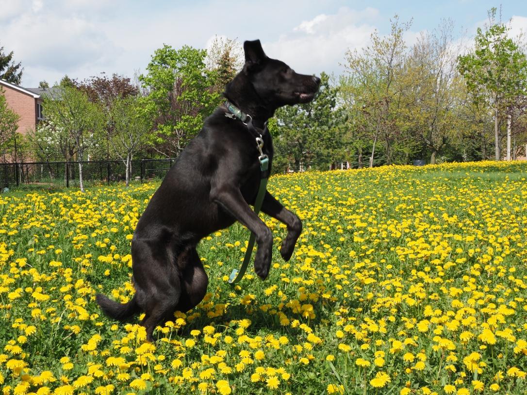 Porter amid dandelions in Brampton